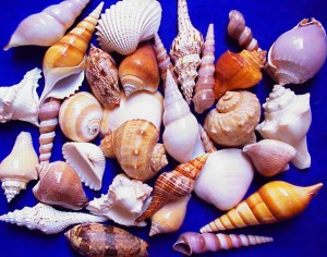 fort-myers-beach-sea-shells