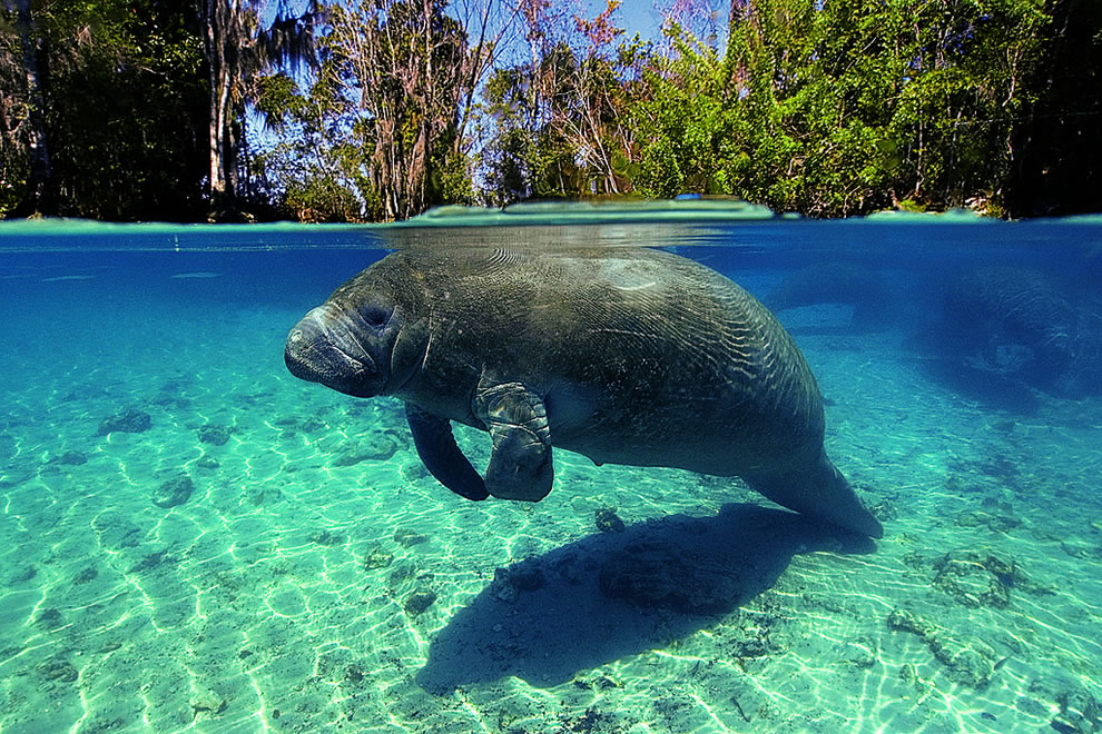 Florida Manatee Fort Myers Beach